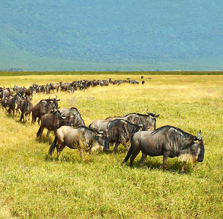 Photo of the annual wildebeest migration, by Brian Tan, CEO Zicasso