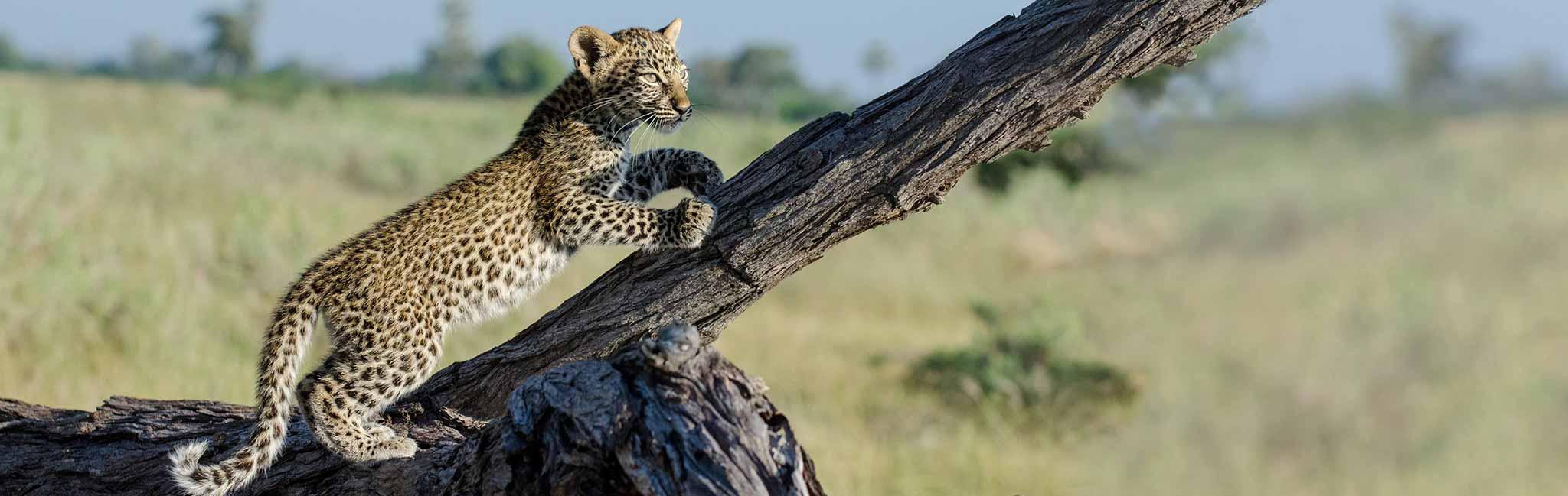Kenya safari - Leopard cub climbing tree