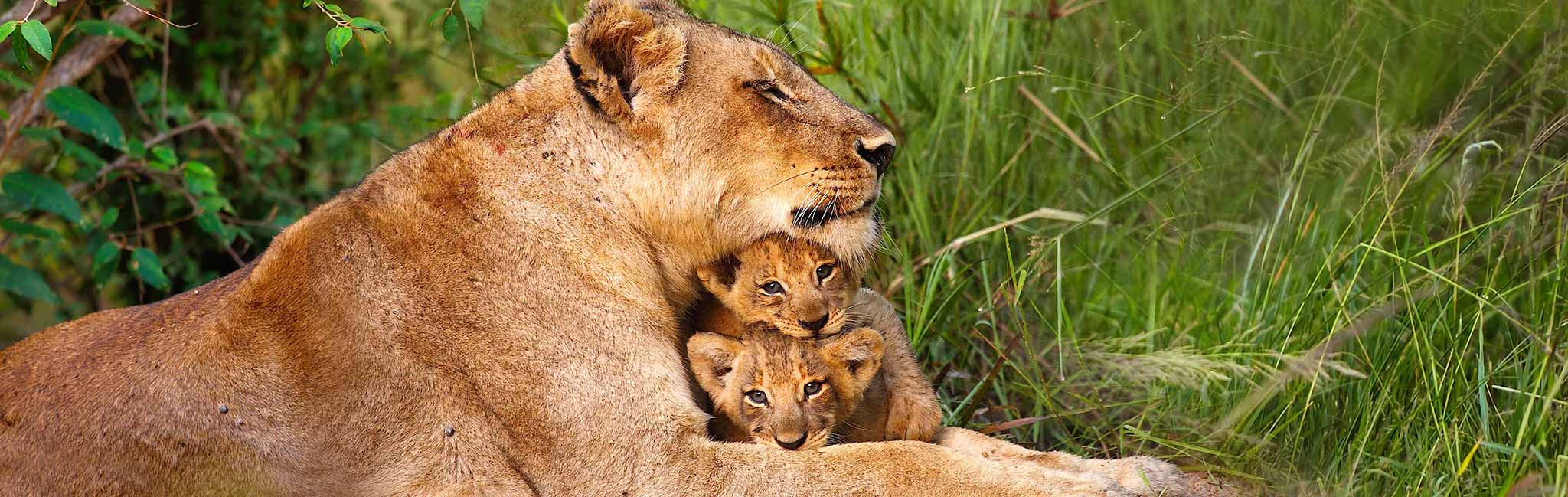 African Safari - Lioness and cubs