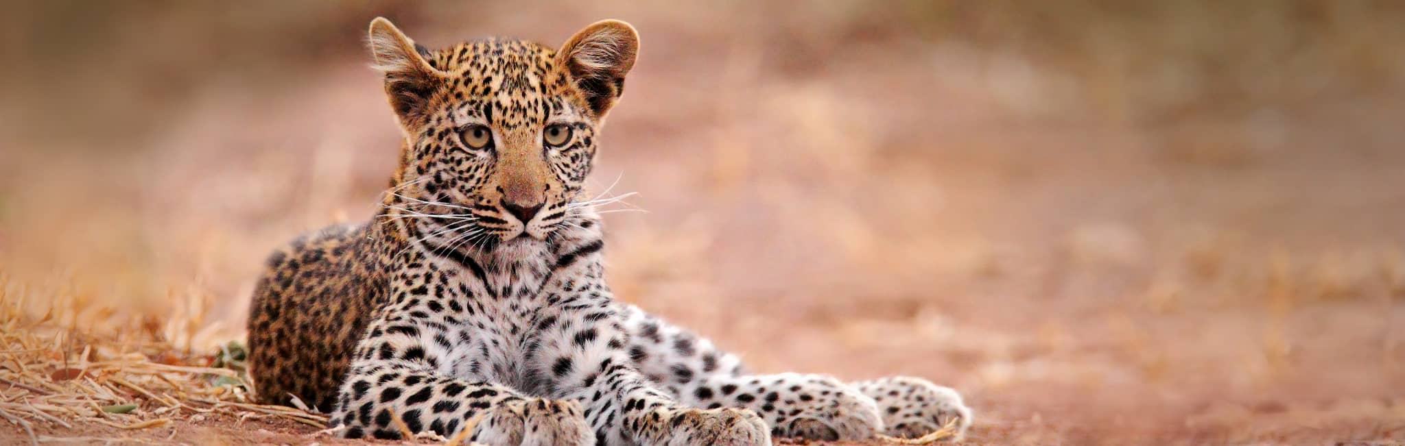 Young African leopard in Hwange National Park, Zimbabwe