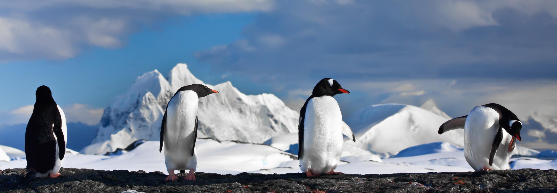 Antarctica Tour - Gentoo Penguins