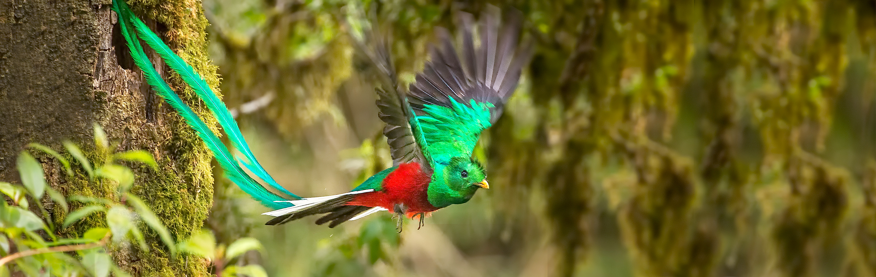 Costa Rica Tour - Male Resplendent Quetzal in Flight