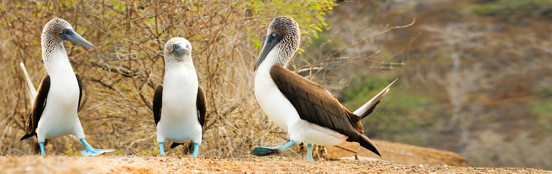 Ecuador & Galapagos Tour - Blue Footed Birds