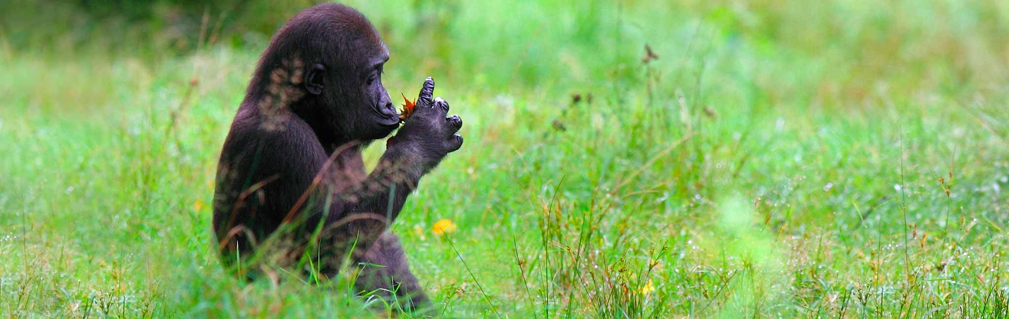 Rwanda Gorilla Trekking and Safari - Gorilla examines flower