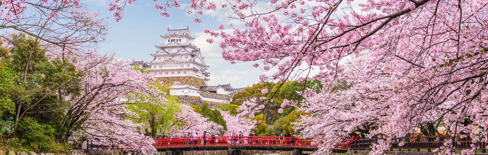 Japanese samurai castle with blooming cherry blossom trees.