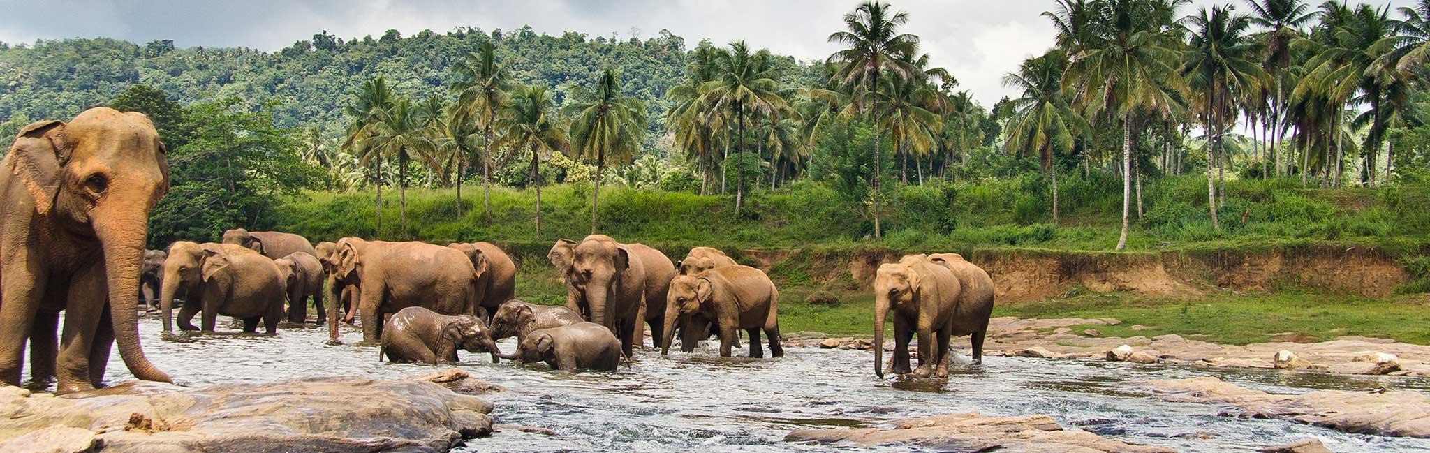 Sri Lanka Tour - Elephant Herd Bathing in Reservoir