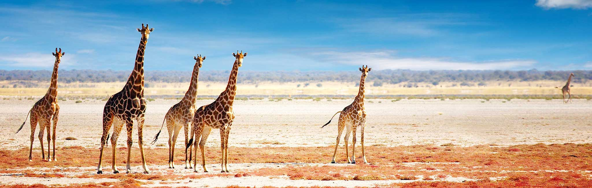 Namibia Safari - Giraffe herd in Etosha National Park