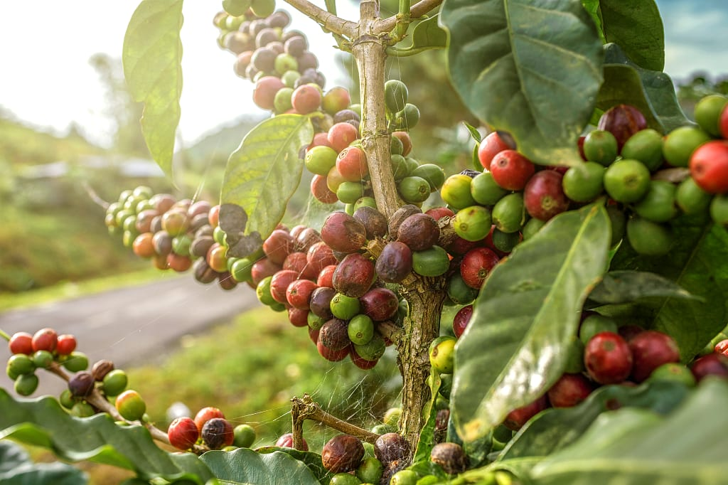 Coffee plantation Medellin, Colombia