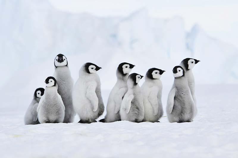 Emperor penguins chicks.