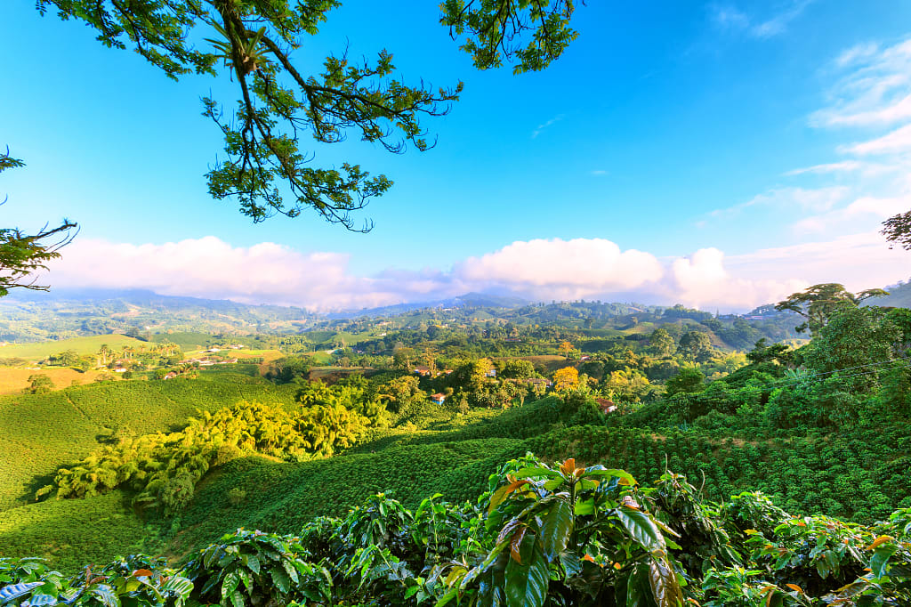 Coffee plantation near manizales Medellin, Colombia