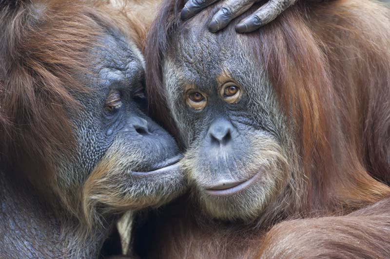 Orangutan kissing in Malaysia.