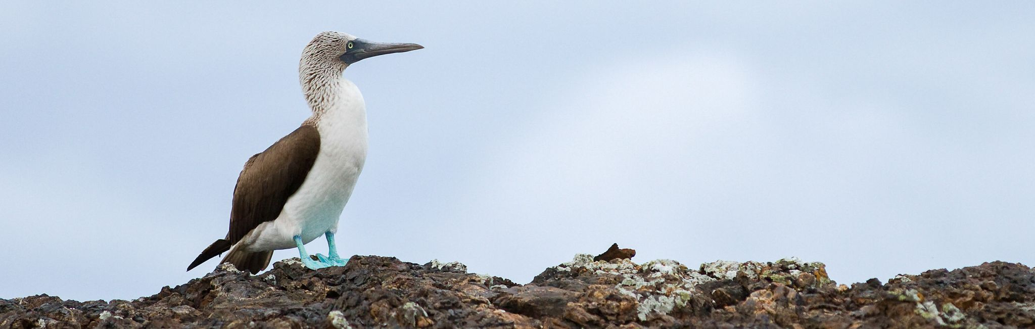 A blue-footed booby is a popular sight in the Galapagos Islands.