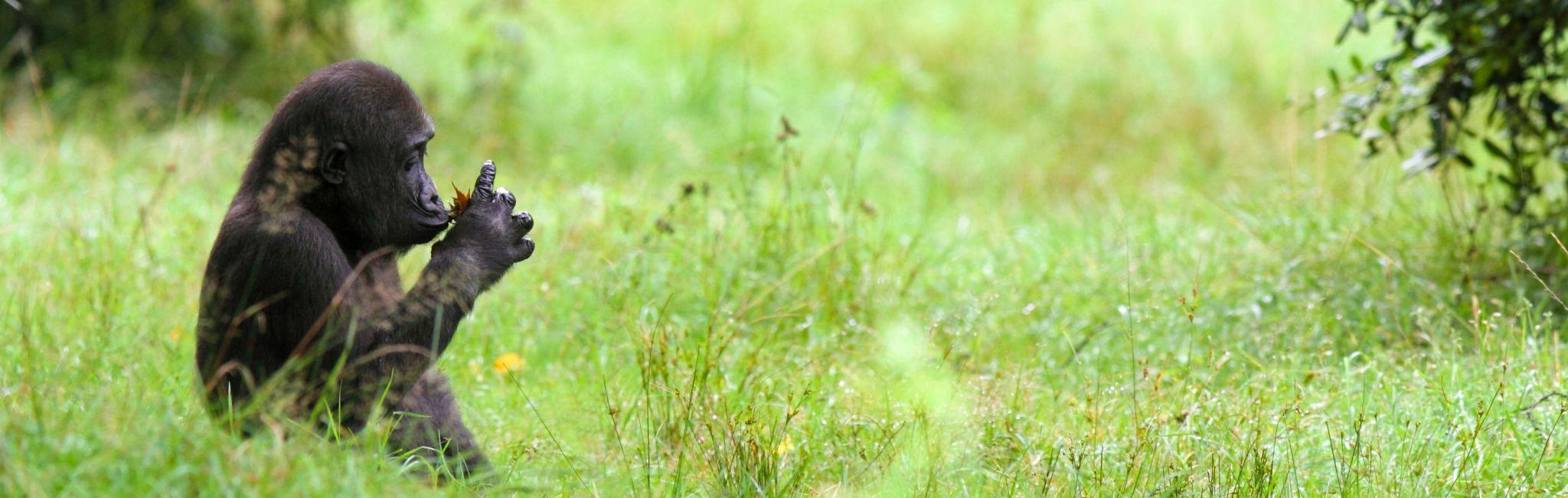 An endangered gorilla sits in the grass in Rwanda.