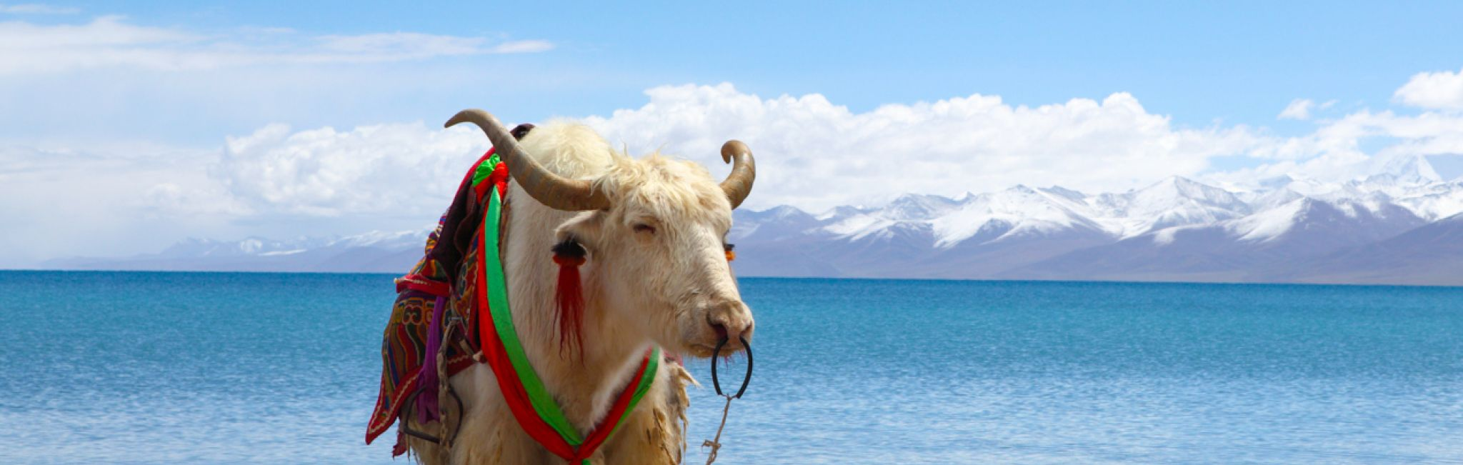 A yak by Namtso Lake, Tibet.
