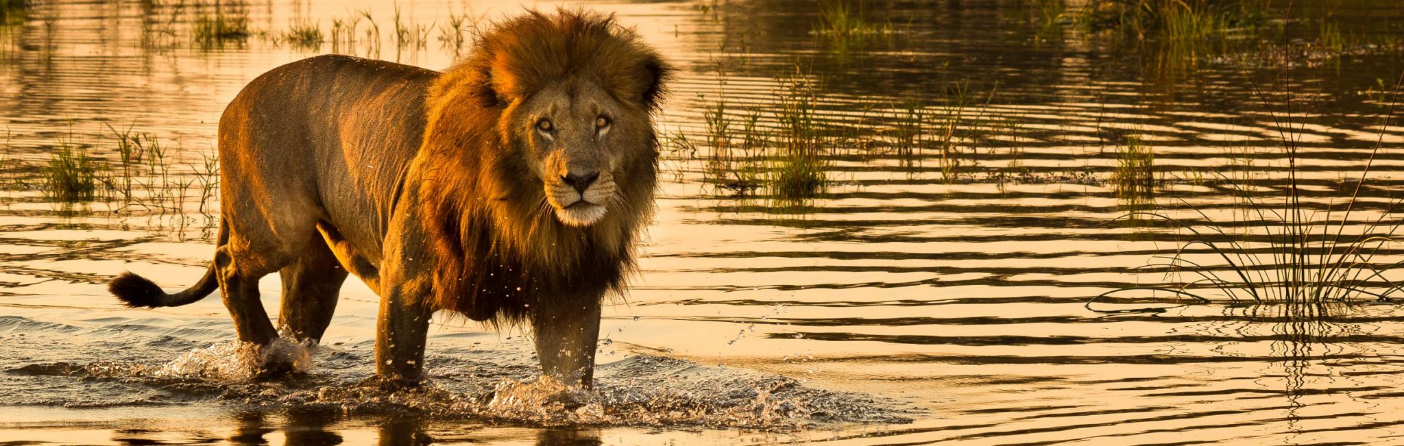 A lion wades through the waters of the Okavango Delta in Botswana.