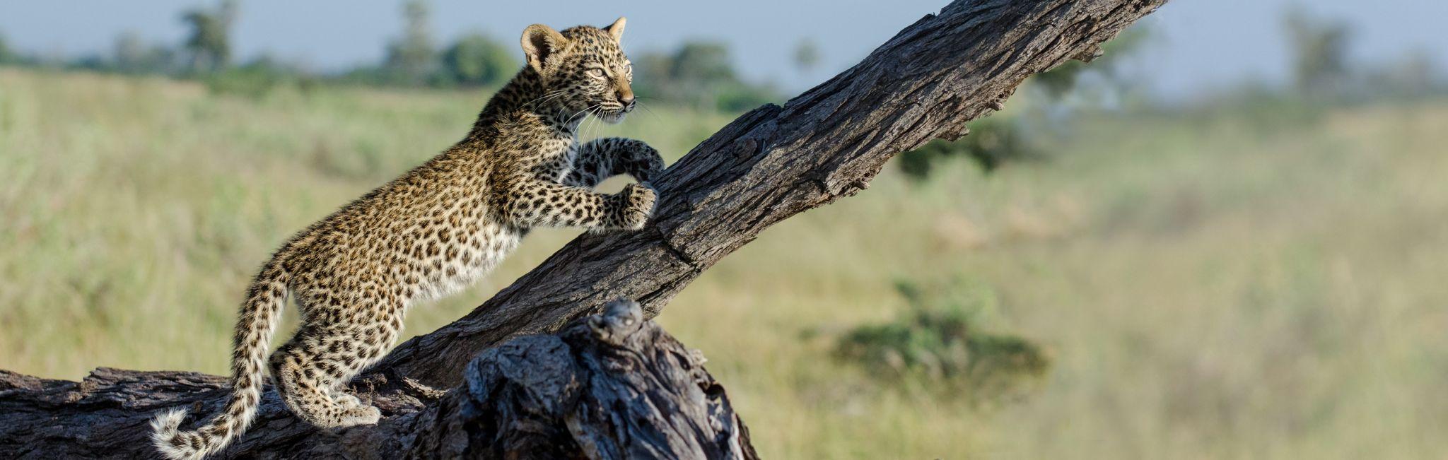 Leopard cub climbing tree - Kenya safari