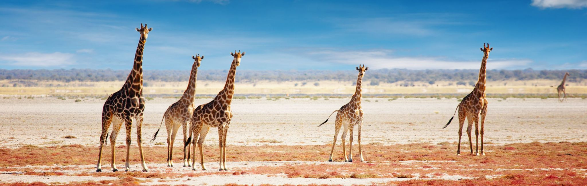 A tower of giraffe in Etosha National Park.
