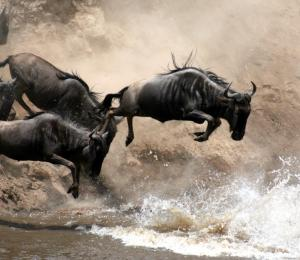 Herd of wildebeest jumping into a river attempting to cross it | Kenya, Africa