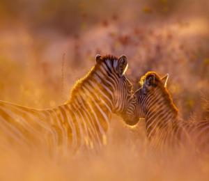 African mother zebra embracing her baby foal at sunset
