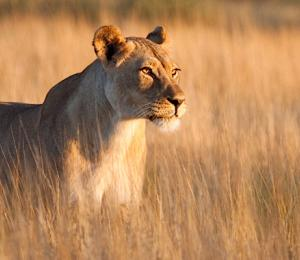 A regal image of an African lioness at sunset | Botswana, Africa