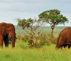 South African elephants grazing in Kruger National Park