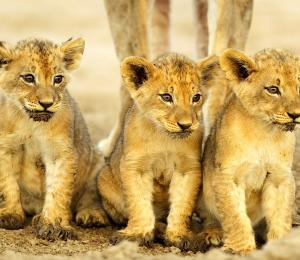 Trio of lion cubs sitting side by side and staring off into the distance   South Africa