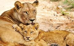 Lioness lick-bathing her lion cub
