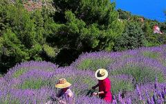 Picking lavender on Pula island in Croatia.