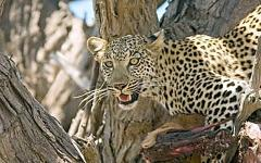 Leopard in tree getting a better view of the land in the Moremi Game Reserve | Botswana, Africa