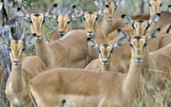 Herd of impala timidly looking at the photographer in the Sabi Sands Game Reserve, South Africa