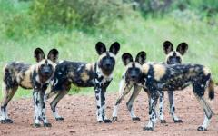 A small pack of African wild dogs looking attentively at the photographer