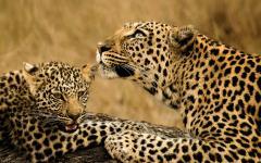 Female leopard lying next to her leopard cub   Kenya