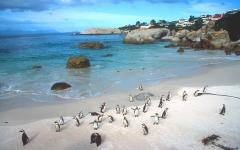 An African penguin colony on Boulders Beach, South Africa