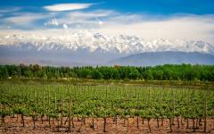 Vineyards in Argentina.