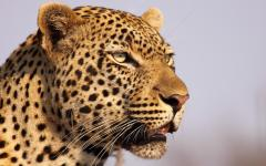 Leapords are one of Africa's big five game animals.