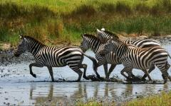 Zebras crossing the river in Africa.