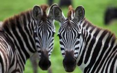 Zebras on an African Safari