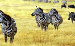 Zebras in the grasslands of Africa.