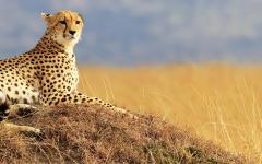 A cheetah in the Masai Mara National Reserve, Kenya.