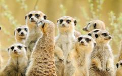 A family of meerkats gaze over the Kalahari Desert in South Africa