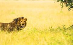 A lion on the prowl in Uganda.
