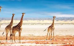Namibia Safari - Giraffe herd in Etosha National Park