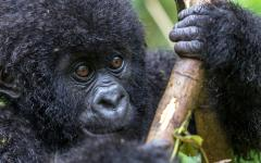 Uganda Safaris - Baby gorilla in Virunga National Park