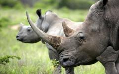 South African female rhinoceros with her calf in the background