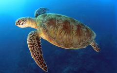 Green turtle swimming in the Great Barrier Reef.