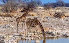 Giraffes at a waterhole in Namibia.