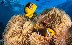 yellow fish swimming in coral under ocean water
