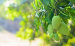 closeup of mangoes on a tree