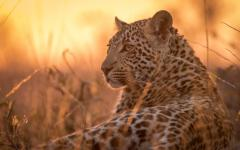 Young African leopard lying down in tall, dry grass with sunset in the background
