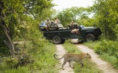 Safari tour in their jeep admiring a beautiful African leopard in the foreground